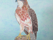 Swanson Hawk by  Donna Birtwistle