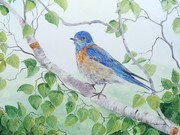 Western Bluebird by  Laurel Rossnagel