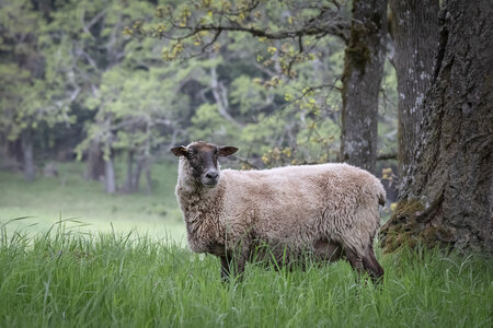 Metchosin Sheep by  Emily Norton