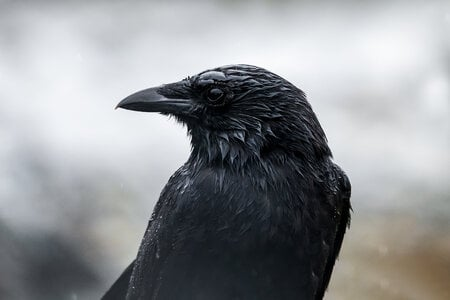 Wet Raven by  Emily Norton
